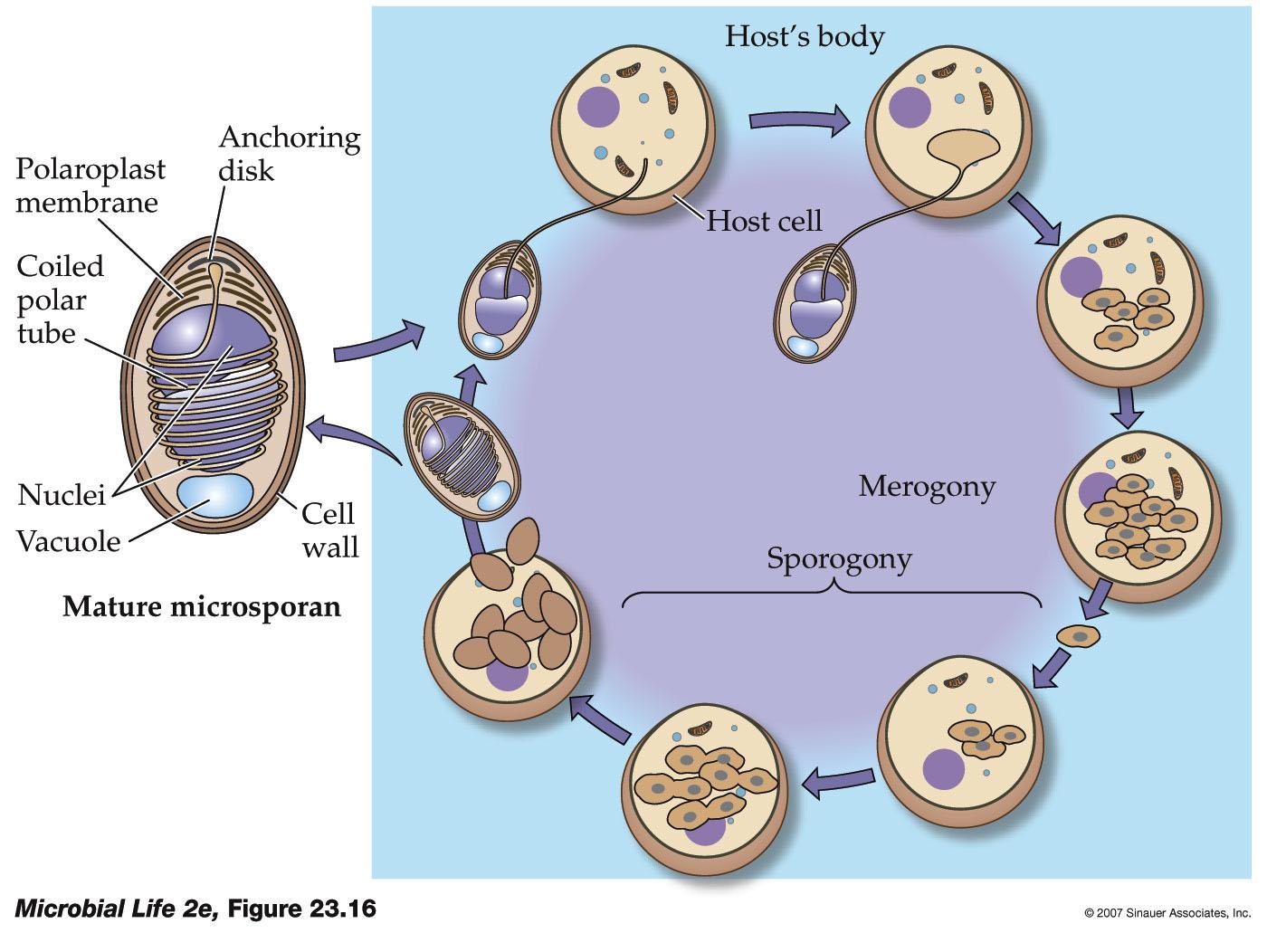 2e Cycle >> Microbial Life, 2e